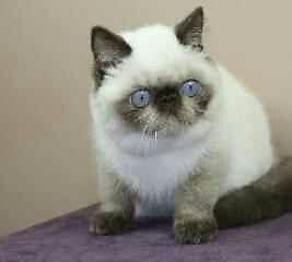 ^-^RARE ^-^ CFA - SEAL POINT EXOTIC SHORTHAIR KITTEN