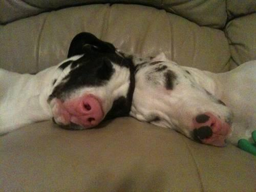 Musings Of A Biologist And Dog Lover Mismark Case Study Great Dane