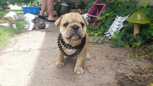 1 2 French 1 2 English Bulldog Puppies For Sale In Amarillo Texas