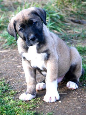 1/2 Kangal 1/4 Boerboel 1/4 Dogo Argentino puppies