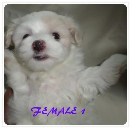 maltese puppies for sale in ky 1 cute maltese puppy for sale for sale in jackson 4659