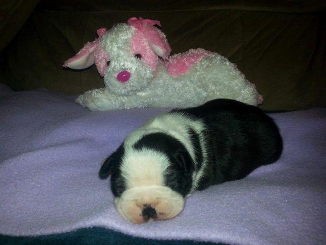 1 Female Boston Terrier Pup Left For Sale In Wadesboro North