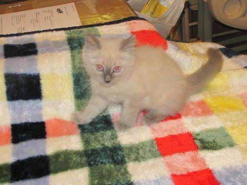1 left blue point siamese kitten boy fluffy soft 9 wks super sweet