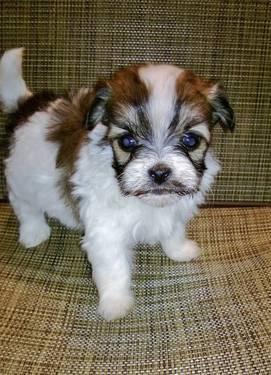 1 Male Left Miniature Schnauzer Puppies Non Shedding Ready March 1 For Sale In Toledo Ohio Classified Americanlisted Com