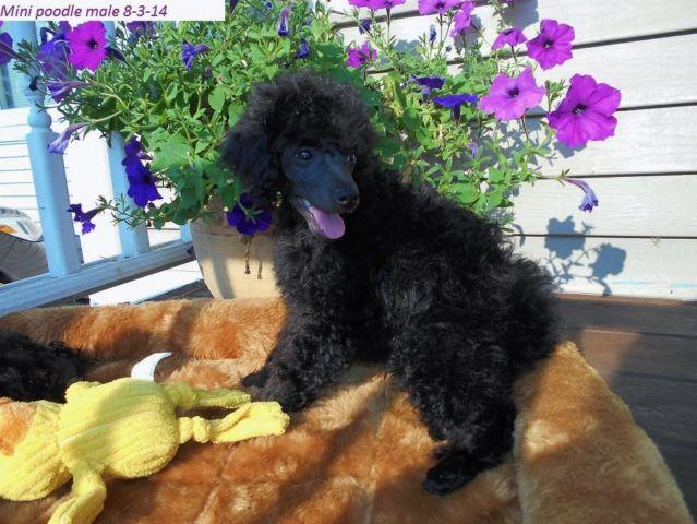 1 Mini Poodle Puppy-Michigan