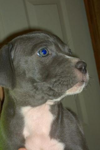 girl blue nose pitbull classifieds buy sell girl blue nose