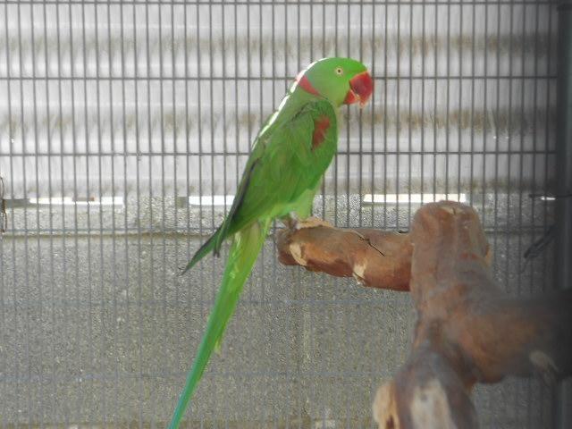 1 Proven pair of Alexandrine Parrots Parakeets