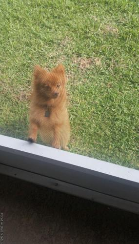 1 year Male Pomeranian