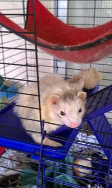1 year old ferret with 2 level cage