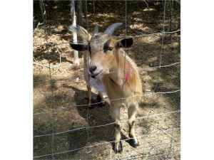 1 Year Old Male Pygmy Goat - $75