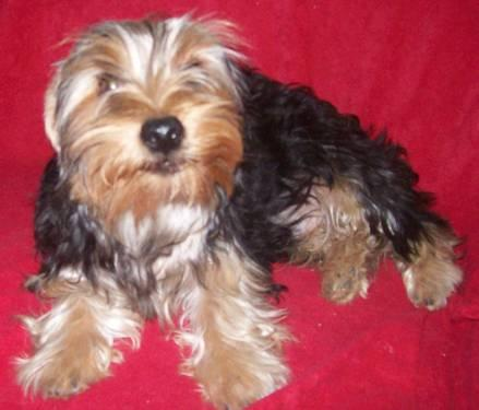 1 Yorkie Puppy 5 Months Old Male For Sale In Yukon Oklahoma