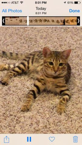 Savannah Cat For Sale Mn