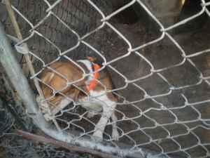 10 - Already Well Trained Bird Dogs - $250 (Jackson)