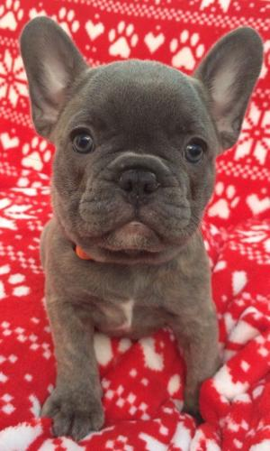 10 QUALITY FRENCH BULLDOGS PUPPIES