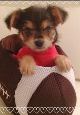 10 Week Old Male Chorkie
