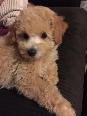 10 Week Old Male Toy Poodle For Sale In Cincinnati Ohio
