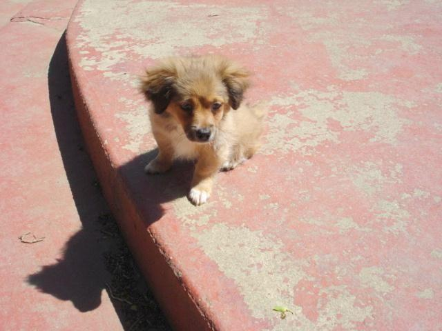 10 week old Mini Sheltie Mix Puppy for Sale in Brentwood, California ...