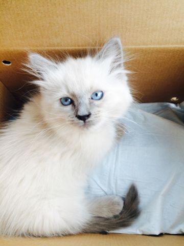 Ragdoll Kittens For Sale In Virginia Beach