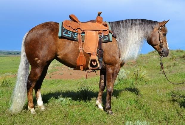 10 yr old quarter horse mare grulla paint