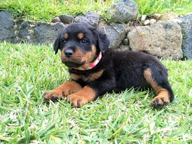 100 Akc German Rottweiler Puppies With Huge Block Head Tail