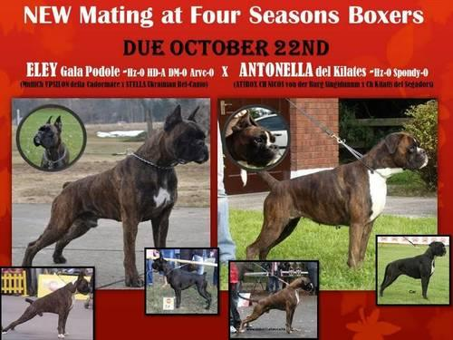 100 European Boxer Puppies For Sale In Owosso Michigan Classified