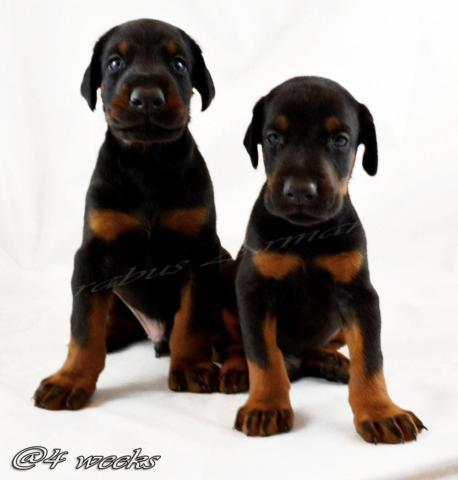 100 European Doberman Puppies For Sale In Pasadena California