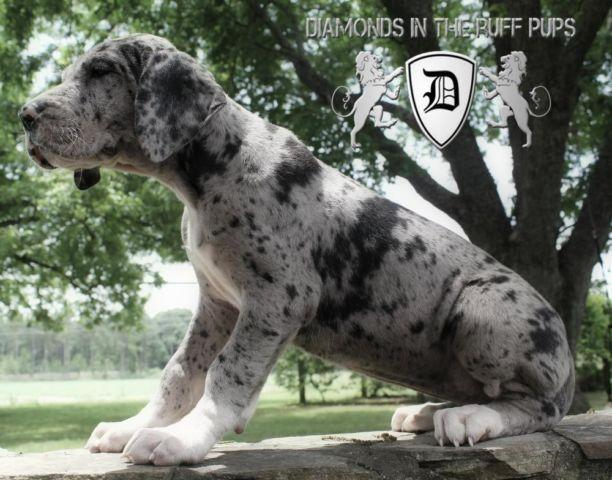 100% European Great dane Puppies with the very best bloodlines!! for Sale in Aline, Georgia ...