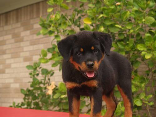 100 Pure German Rottweiler Kb For Sale In Houston Texas