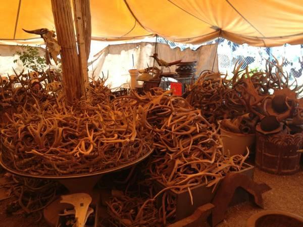1000s ANTLERS, skulls, horns, steer exoticelkMoose - $3
