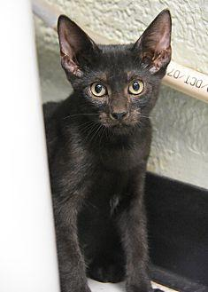10320911 Domestic Shorthair Kitten Female