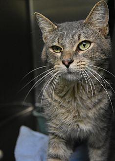 10322556 Domestic Shorthair Adult Male