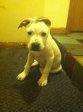 11 week old American Pitbull Terrier puppy.