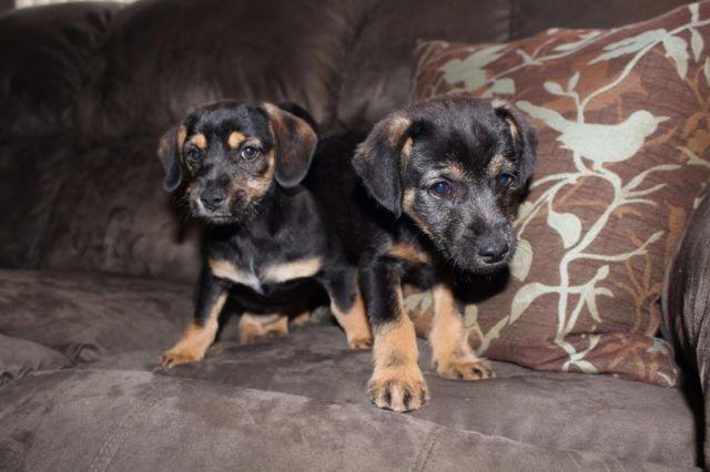 11 Week Old Half Miniature Pinscher Puppies For Adoption For Sale In