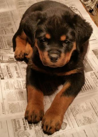 11 Weeks Old Female Akc German Rottweiler Puppies For Sale In