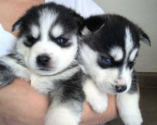 12weeks Siberian Husky Puppy 12weeks,'