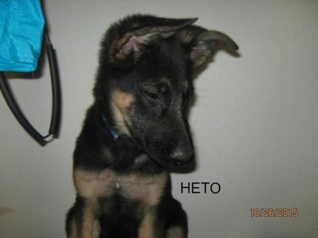 13 Week German Shepherd Puppies