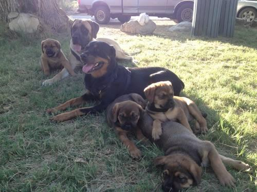 13 wk old Mastweiler Puppies for Sale in Morongo Valley, California ...