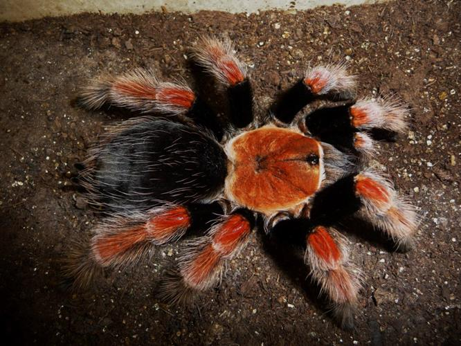 15 species Tarantulas spiders and King Cobra for sale