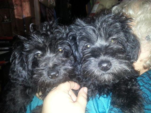 poodles for sale in ohio