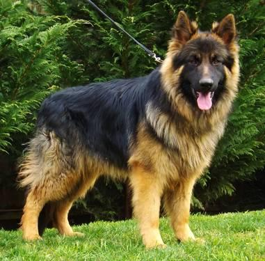 Pics photos long haired german shepherd breeders real madrid king