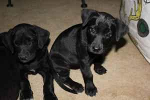 lab 1/2 cur Puppies (West Monroe, LA) for Sale in Monroe, Louisiana