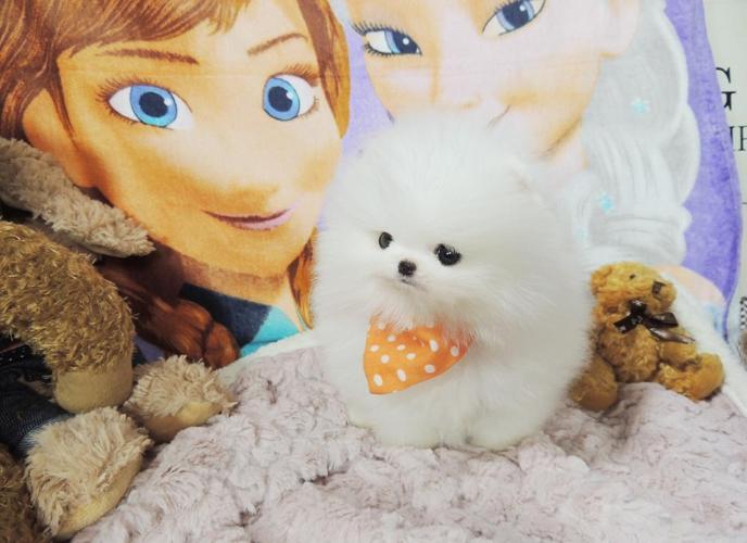 Pomeranian white full grown - photo#15