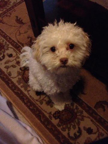 2.5 year old female Maltipoo looking for a new home