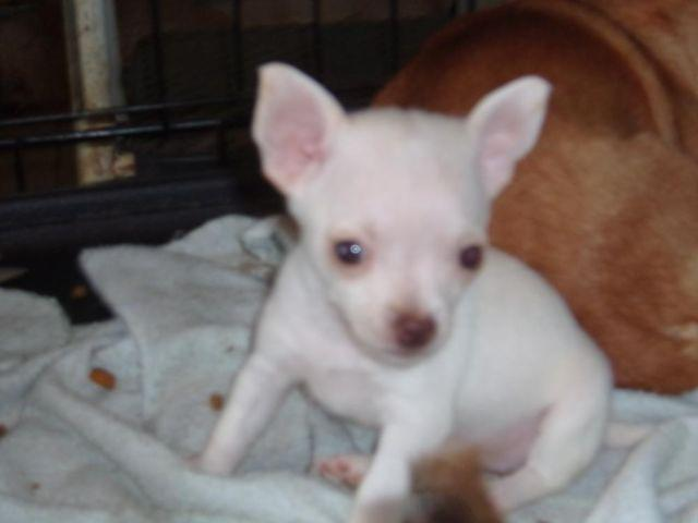 Teacup Chihuahua For Sale In Ohio Classifieds Buy And Sell In Ohio