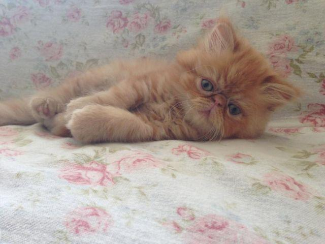Himalayan kitten for sale san diego
