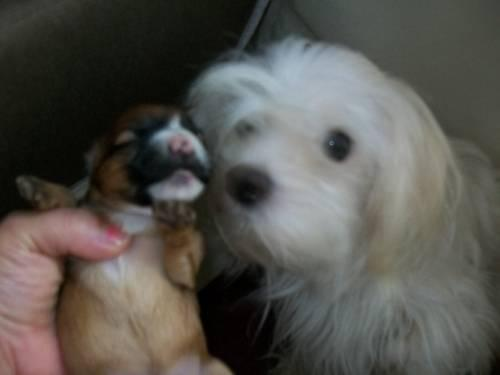 2 Adorable Little Blonde Parti Yorkies For Sale For Sale In Newport