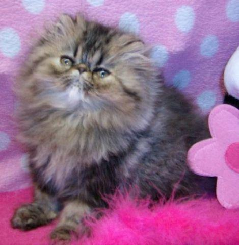 2 Adorable Male Persian Kittens from CFA Champion Parents