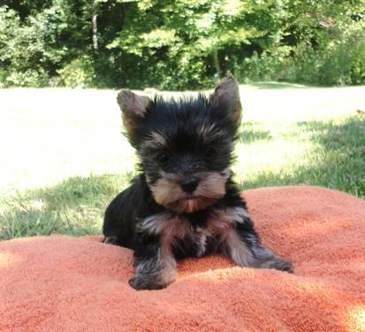 2 Adorable Tiny AKC Yorkie puppies for sale in Indiana