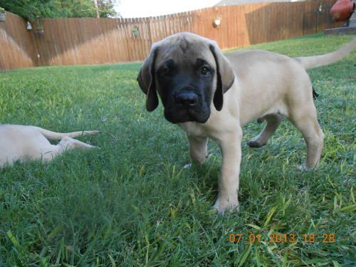 Beautiful English Mastiff Puppies for Sale for sale in Belton, Texas