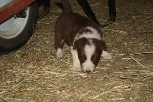 2 Akc Border Collie Male Puppies For Sale In Wheatland California